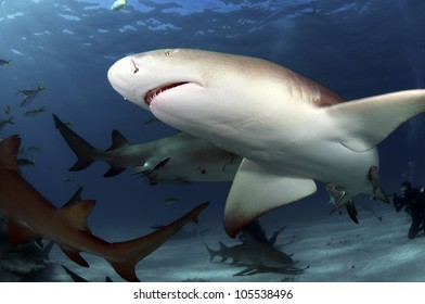 Tiger sharks are the largest of the requiem sharks