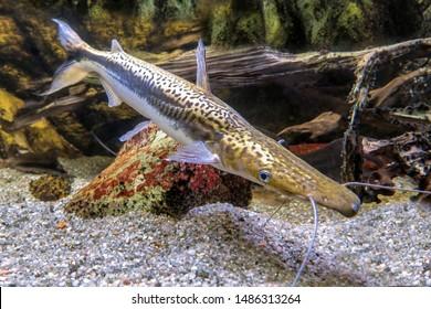 Tiger  Shovelnose Catfish - Sorubim lima Duckbill Catfish