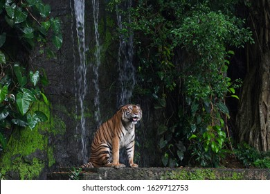 tiger show tongue sitdown  in front of mini waterfall