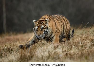 tiger, siberian tiger