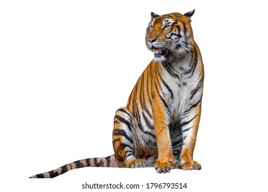 The tiger is sitdown on white background have path