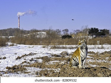 A tiger sits as a smokestack pollutes the air and his habitat is destroyed