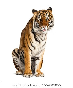 Tiger sitting in front of a white background, big cat,