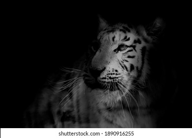 Tiger sitting and watching for next hunt