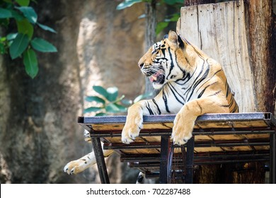 Tiger sitting in a zoo