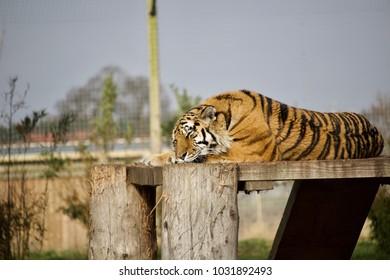 Tiger sleeping overlooking enclosure. Tiger action wildlife scene, wild, face cat, nature habitat. Danger animal, tajga in Russia. Amur tiger.