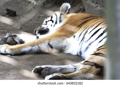 A tiger sleeping in a zoo