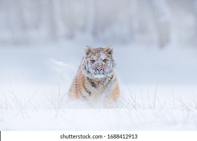 Tiger snow face running in wild winter nature. Siberian tiger, Panthera tigris altaica. Action wildlife scene with dangerous animal. Cold winter in taiga, Russia. Snow flakes with wild, Amur cat.