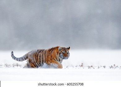 Tiger in the snow, walking on wintery meadow. Orange animal in white habitat.