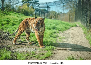 A tiger stalks about his habitat at the zoo on a worm sunny day.
