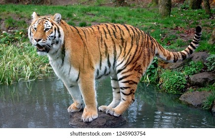Tiger stands on a stone in the water