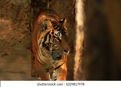 Tiger staring in forest in dark tone for hunting, animals living life concept