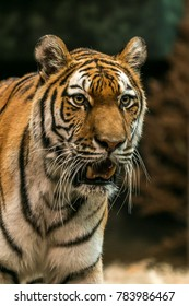 Tiger staring with teeth