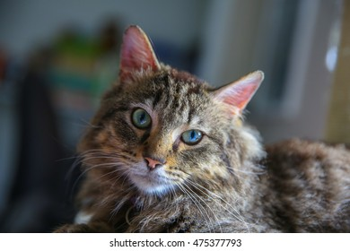 A tiger striped cat looking at the camera