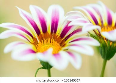 Tiger Striped Gazania flower, close up