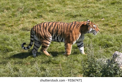 A tiger strolling around in his area.