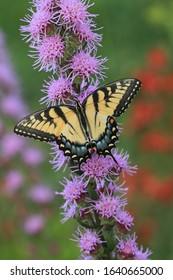 tiger swallowtail butterfly female papilio glaucus on rough blazing star liatris