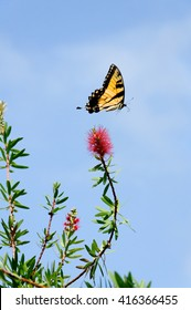 Tiger swallowtail butterfly flying above a red flower.