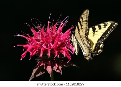 Tiger Swallowtail Butterfly on Red Bee-balm Blossom