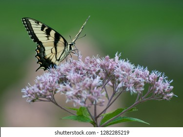 Tiger swallowtail butterfly (papilio glaucus) on flower of joe pye weed (eutrochium purpureum)