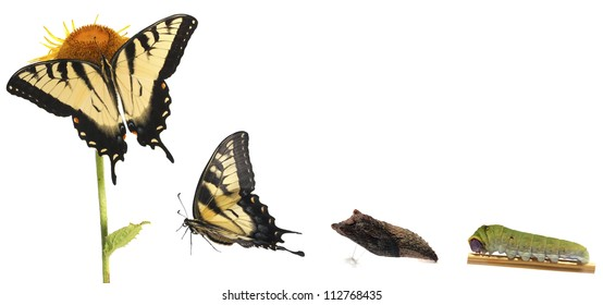 Tiger Swallowtail metamorphosis. Life cycle of the Eastern Tiger Swallowtail butterfly (Papilio glaucus) from North America showing stages in the development of the butterfly.
