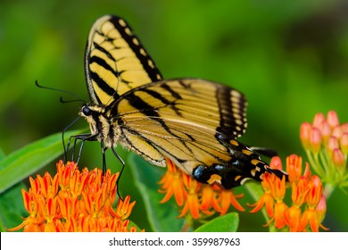 A Tiger Swallowtail on Butterfly weed in the Appalachian Mountains