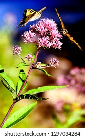 Tiger Swallowtail, Papilio glaucus, on Joe Pye Weed by Williams River