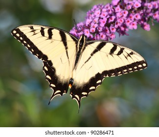 Tiger Swallowtail - Yellow and black butterfly