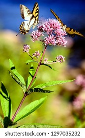 Tiger Swallowtails, Papilio glaucus, on Joe Pye Weed by Williams River