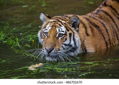 Tiger is swimming