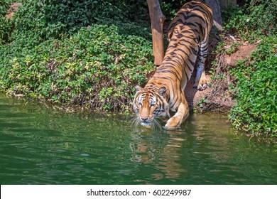 Tiger swimming.