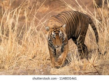 Tiger T60 cub closeup shot at  Ranthambore Tiger Reserve
