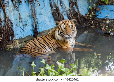 Tiger takes a bath