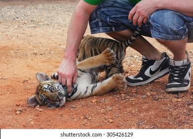 TIGER TEMPLE, THAILAND - February, 2012: man plays with small cute baby tiger.