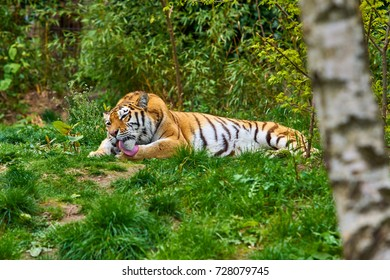 Tiger. Tigers on green grass