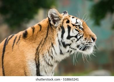 Tiger, tigre, bengal tiger