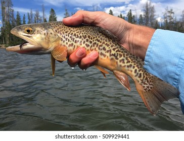 A Tiger Trout -- a sterile, intergeneric hybrid of the Brown Trout (Salmo trutta) and a Brook Trout (Salvelinus fontinalis), caught fly fishing and prior to release in a high mountain lake