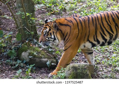 Tiger under trees by the water