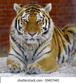 Tiger Ussuriisk Far East