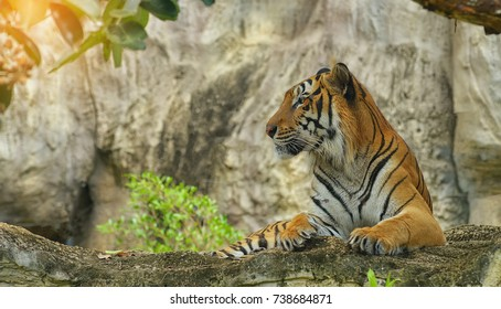 Tiger is waiting for bait on the cliff.