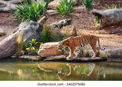 A tiger walking down to the water