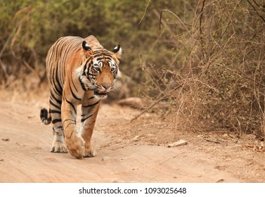 Tiger walking on mud track, Ranthambore National Park