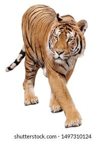 Tiger walking on white background