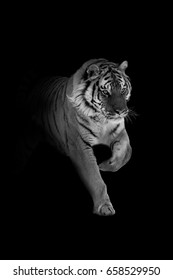 tiger walking out of the dark and into the light, amazing wildlife wallpaper