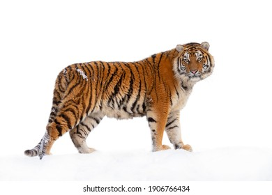 Tiger walking in the snow isolated on white background