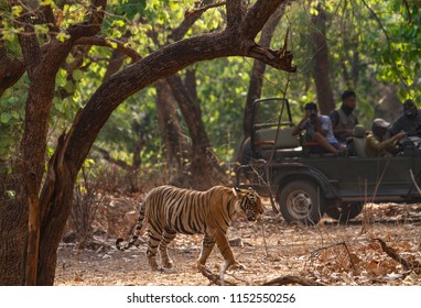 A tiger walks in the forest of Ranthambhore as tourist look on