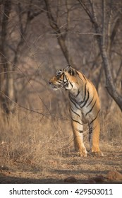 Tiger walks through the jungle. It is an excellent illustration in the soft light which shows wild life.