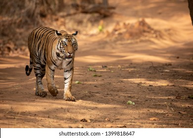 Tiger On Road Images, Stock Photos & Vectors   Shutterstock