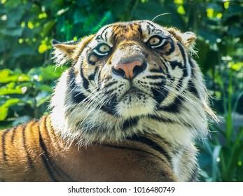 Tiger watching his prey