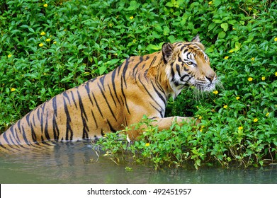 Tiger up from the water.